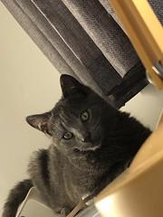 Freddie (maxdyba) Tags: freddie plus iphone8plus appleiphone8plus 8plus iphone apple expensive cat