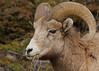 Rocky Mountain Sheep...#4 (Guy Lichter Photography - 3.7M views Thank you) Tags: rockymountainsheep canon 5d3 canada alberta banffnationalpark wildlife animal animals mammal mammals sheep