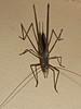 Zaprochilus sp Zaprochilinae Tettigoniidae Horseman Rd Warwick SQ P1100053 (Steve & Alison1) Tags: zaprochilus sp zaprochilinae tettigoniidae horseman rd warwick sq