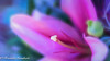For Xmas (frederic.gombert) Tags: lily xmas christmas light sun sunlight color colors pink flower macro sunrise bunch bloom