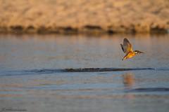 IMG_1534 (Joao Roque) Tags: guardarios commom kingfisher alcedo atthis birds aves wildlifephotography