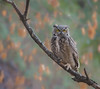 The Perfect Perch (vishalsubramanyan) Tags: owl gho greathronedowl fall colors background nikon 300mmf4 raptor predator nikond500 wildlife nature wildlifephotography naturephotography