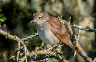 JWL8018 Nightingale...