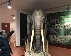Elephas antquus