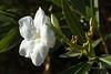 white oleander 4107 (Gerald F. Ward) Tags: oleander