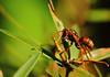 Australian paper wasp (Polistes humilis) (MonsterHangout) Tags: wasp invasive sting nz australia tawharanui