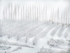 Orchard In Winter (amarilloladi) Tags: pacificnorthwest washington appleorchard trees flora fence hff fencedfriday snow orchards winter 7dwf