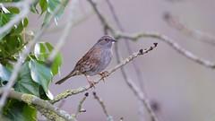 Dunnock (Prunella modularis) (jhureley1977) Tags: dunnock prunellamodularis birds birdsofbritain birding britishbirds ashjhureley avibase naturesvoice bbcspringwatch rspbbirders ashutoshjhureley hemelhempstead hemelbirding