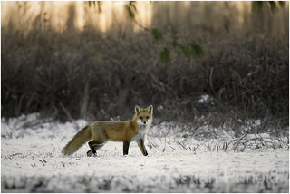 red fox at sunrise