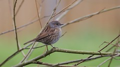 Dunnock (Prunella modularis) (jhureley1977) Tags: birds birding birdsofbritain britishbirds ashjhureley avibase naturesvoice bbcspringwatch rspbbirders rspb rspbryemeads ashutoshjhureley