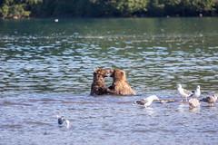 Kamchatka Brown Bear (Leif Jönsson) Tags: rysslandkurillake kamtjatkakraj ryssland ru bear brownbear kamtjatka brunbjörn kamtjatkabjörn russia wildlife travel wildnature salmon september kamchakta kamchatkabrownbear kamtjaktabrunbjörn