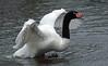 blacknecked swan Artis BB2A8185 (j.a.kok) Tags: zwaan swan blackneckedswan zwarthalszwaan vogel bird watervogel waterbird artis