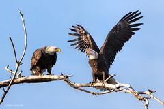 A Fisherman's Tale (Mimi Ditchie) Tags: baldeagle baldeagles eagle eagles getty gettyimages mimiditchie mimiditchiephotography