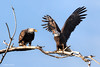 A Fisherman's Tale (Mimi Ditchie) Tags: baldeagle baldeagles eagle eagles getty gettyimages mimiditchie mimiditchiephotography
