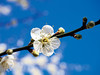 梅花Plum blossom (游萬國) Tags: 梅花 白 plumblossom 天空 藍