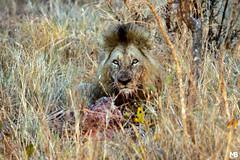 Leone (Mario Barbieri Photography) Tags: 2009 canonef100400mmf4556lisusm canoneos50d krugersabisandreserve leone sudafrica thebestof krugerpark mpumalanga za