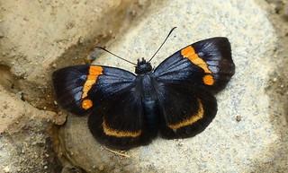 Charidia lucaria pocus P1150948