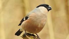 Bullfinch ♀ (Pyrrhula pyrrhula) (eerokiuru) Tags: bullfinch pyrrhulapyrrhula gimpel leevike bird p900
