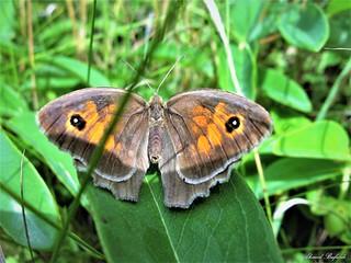 Butterfly 1541