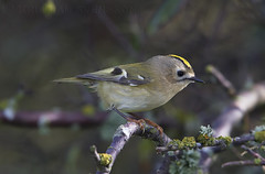 Goldcrest (Regulus regulus) (macronyx) Tags: bird birds birding aves birdwatching fåglar vogel oiseaux nature wildlife kungsfågel goldcrest regulus regulusregulus