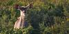 In the morning sun... (Coisroux) Tags: kudu tragelaphusstrepsiceros wildlife safari wildlifephotography portrait dusk sunrise sunrays animals buck deer d5500 nikond nikond5500 kwandwe vegetation bushveld wildflowers southafricanwildlife shadows antelope woodland camouflage 7dwf