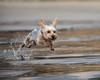 850_0512 (eijiphoto.com) Tags: dog running beach pet photography lajolla shores action mighty jumping racing sprint playing photographer