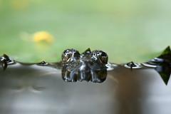 That Look... (karthik Nature photography) Tags: nature naturephotography frog amphibian animals animalworld abstract wildlife wildlifephotography abstractworld macro macrophotography pond canon canon5dmark3 eyes closeup