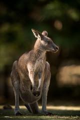 Eastern Grey Kangaroo (Old-Man-George) Tags: 2017 australia georgewheelhouse macropusgiganteus nsw newsouthwales easterngrey kangaroo spring wwwgeorgewheelhousecom a174898