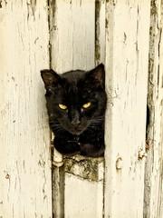ON THE FENCE (akahawkeyefan) Tags: cat pussy kingsburg davemeyer