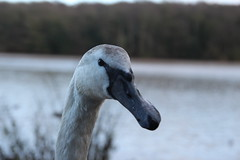 Swan (umphotography) Tags: swans rufford park abbey nottinghamshire mansfield ollerton a614