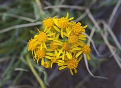 Thickleaf Ragwort (Senecio crassulus) (Ron Wolf) Tags: asteraceae greatsanddunesnationalpark nationalpark seneciocrassulus thickleafragwort botanical botany flower meadow nature wildflower colorado