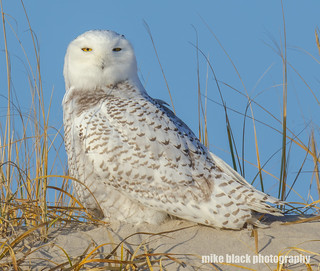 Snowy Owl NJ Shore Canon 5DS R 800mm see full size