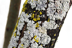 Fungi 2 (The Life of a Camera) Tags: lichen fungi moss tree branch bark nature snow winter green white intricate design beauty