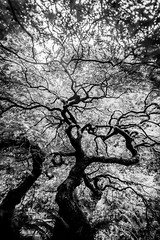 A Million Came From One (Thomas Hawk) Tags: america japanesemaple oregon pdx portland portlandjapanesegarden usa unitedstates unitedstatesofamerica washingtonpark westcoast bw maple tree us fav10 fav25 fav50 fav100
