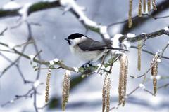 Anglų lietuvių žodynas. Žodis snow-bird reiškia sniego-paukštis lietuviškai.