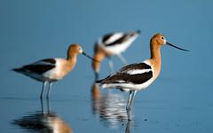 American Avocets (Robert R Grove 2) Tags: avocets birds nature wildlife 3 three trio triple water pond robertrgrove