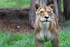 . (.Chris.K) Tags: nikon d850 200500 lioness lion mogo zoo