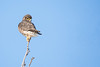 Merlin (NicoleW0000) Tags: merlin falcon birdofprey wildlife photography ontario birds