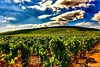Grapes, as far as the eye can see. (Fotofricassee) Tags: vintner meadows redwine red bourgogne burgundy beaujolais grapes wine vineyard