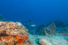 shark6Oct26-17 (divindk) Tags: fiji fijianislands shark southpacificocean triaenodonobesus underwater whitetipreefshark whitetipshark whitetippedreefshark diverdoug fearsome hunter jaws marine ocean predator reef sea teeth underwaterphotography