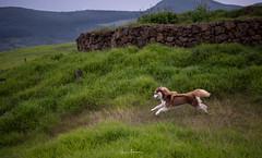 Reindeer Tryouts (JUNEAU BISCUITS) Tags: dog pet siberianhusky husky waimea kamuela hawaii bigisland waimeadistrictpark park hawaiiphotographer bigislandphotographer nikon nikond810