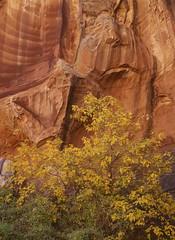 Desert bounty (baro-nite) Tags: fallcolor boxelder acer capitolreef utah mediumformat film e6 fujifilm velvia rvp50 pentax 645n smcpentaxfa645zoom14545~85mm epsonv700 affinityphoto