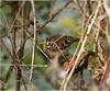 20171221 Goldcrest Stock Green Worcestershire (rodtuk) Tags: 5star flipublic flickr natbird roderickt ukworcestershire