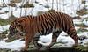 sumatran tiger Burgerszoo BB2A5848 (j.a.kok) Tags: tijger tiger sumatraansetijger sumatrantiger pantheratigrissumatrae animal kat cat mammal zoogdier dier asia azie sumatra burgerszoo