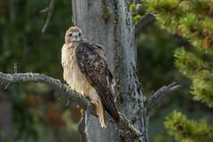 I think he sees me (ChicagoBob46) Tags: redtailedhawk hawk bird yellowstone yellowstonenationalpark nature wildlife ngc coth5 npc