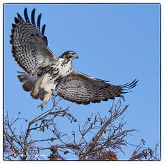 Red-tailed Hawk at Duck Creek Conservation Area - No. 1 (Nikon66) Tags: hawk duckcreekconservationarea puxico missouri nikon d850 600mmnikkor redtailedhawk