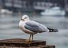 Bad Attitude. (Omygodtom) Tags: bokeh bird macro seagull 7dwf goth5 nature nikkor natural nikon digital d7100 diamond nikon70300mmvrlens river water wild wildlife xmas