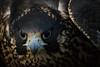 Peregrine (Jon David Nelson) Tags: falcon peregrine falcoperegrinus peregrinefalcon raptors birdsofprey conservation wildlife education highdesert