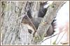 Ecureuil 171226-01-P (paul.vetter) Tags: écureuil sciuridé rongeur mammifère squirrel ardilla eichhörnchen