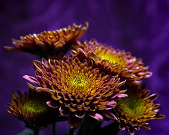 Flat Tops 1109 (Tjerger) Tags: nature beautiful beauty black bloom blooming blooms brown bunch closeup fall flora floral flower flowers green group macro mum pink plant portrait puple tan wisconsin yellow mums purplebackground flattops natural